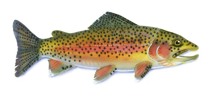 Identify Your Fish Silver Creek Outfitters